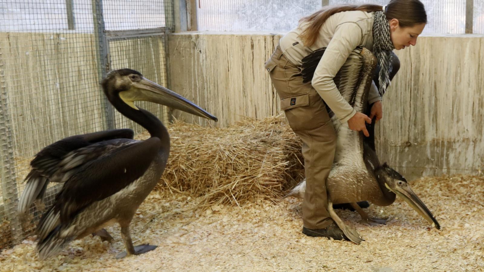 Pelikáni míří z pražské zoo do Londýna