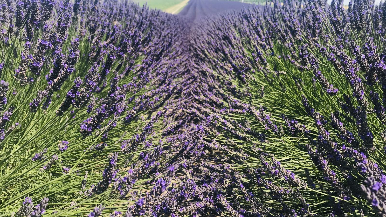 Levandulové pole u Staroviček