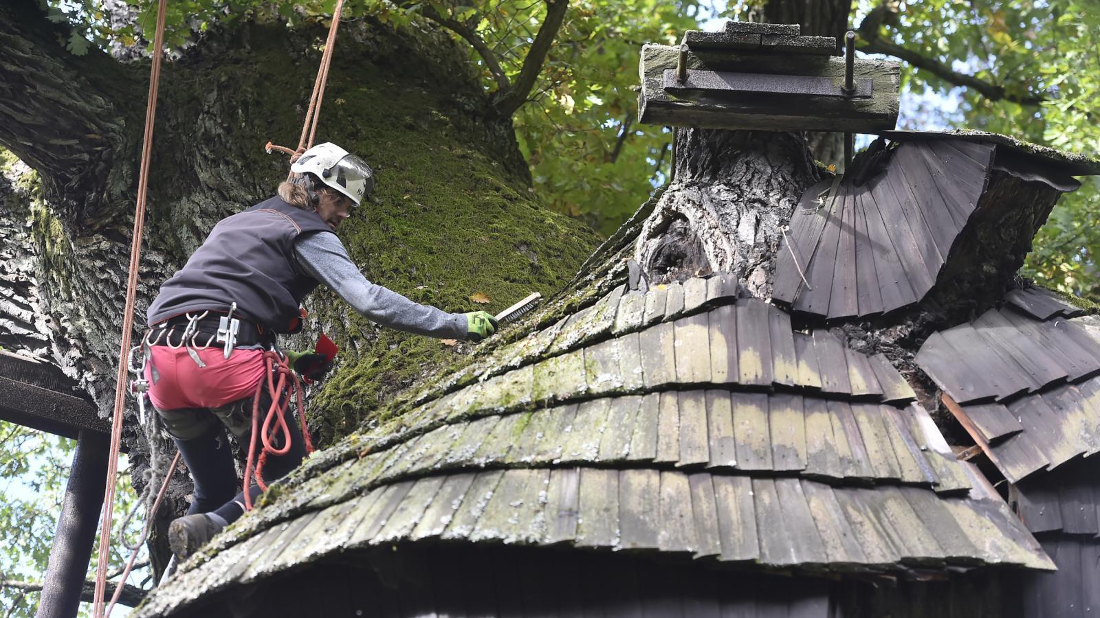 V Náměšti nad Oslavou dnes odborníci opět ošetřili Žižkův dub starý možná přes 900 let