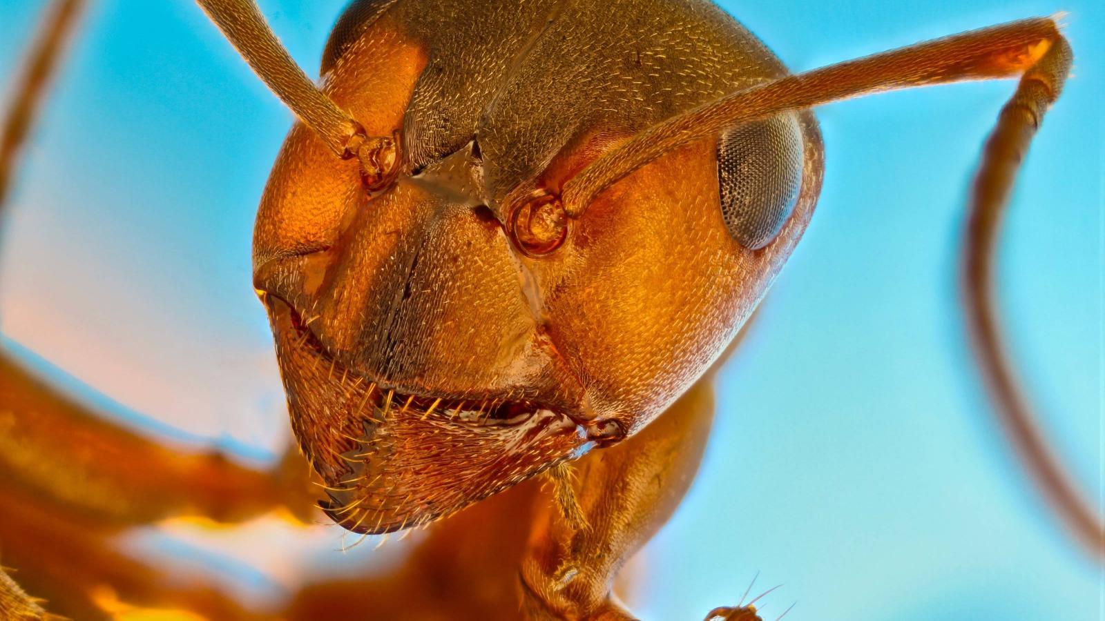 Hlava mravence lesního