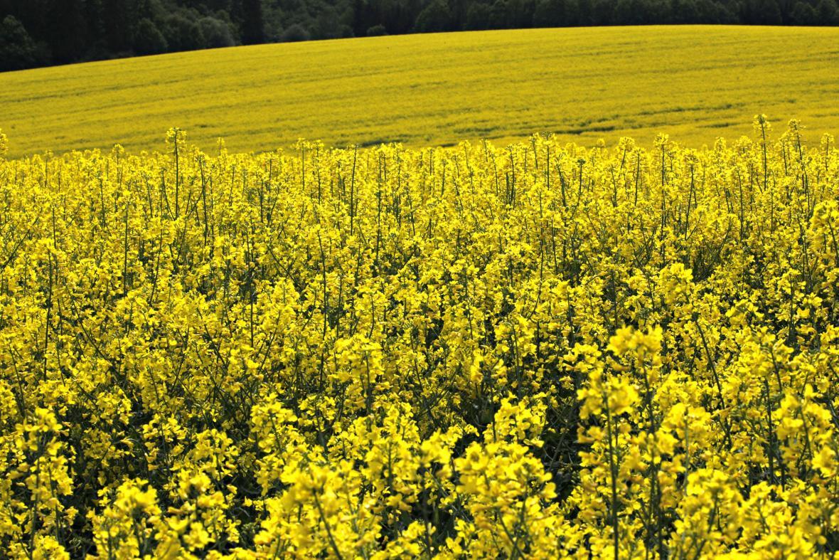 Řepka na biopaliva