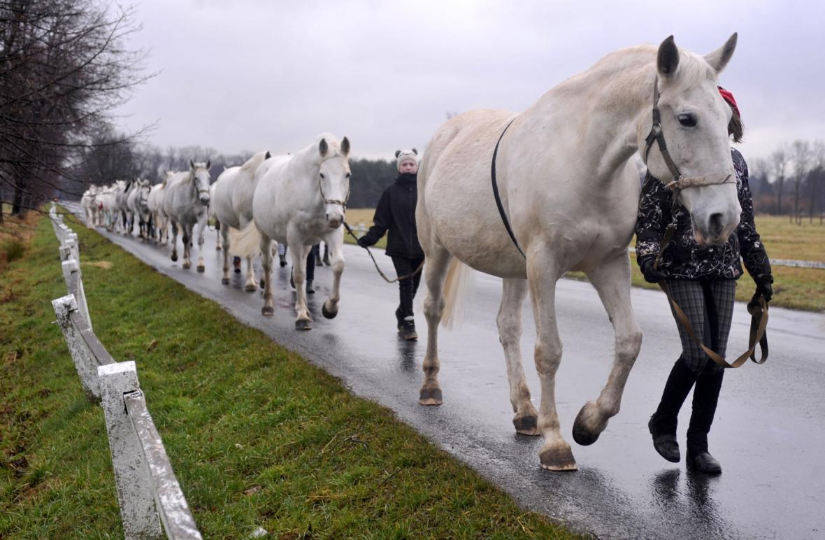 Starokladrubští koně - leden 2014