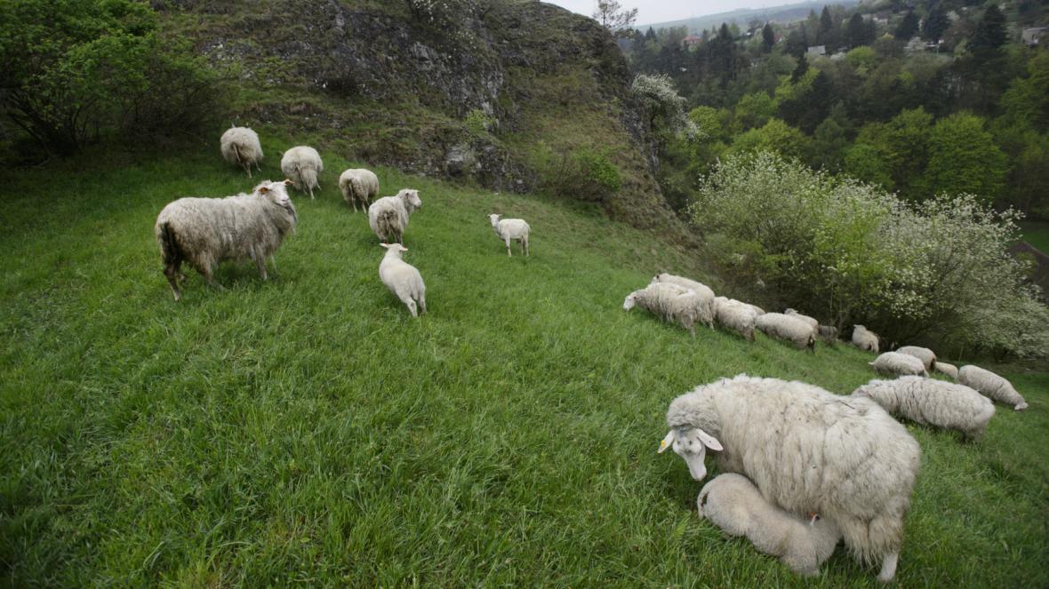 Pasení ovcí a koz