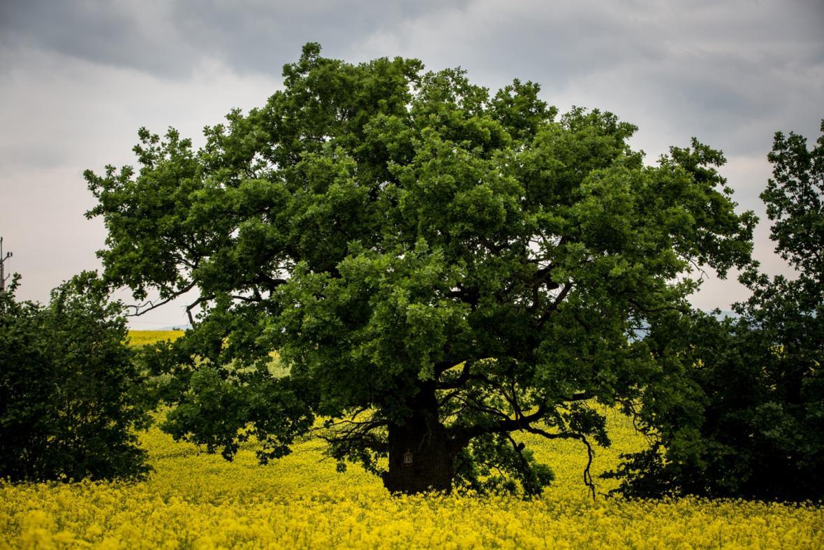 3. místo: Bělolhotský baobab (Olomoucký kraj, Bílá Lhota)
