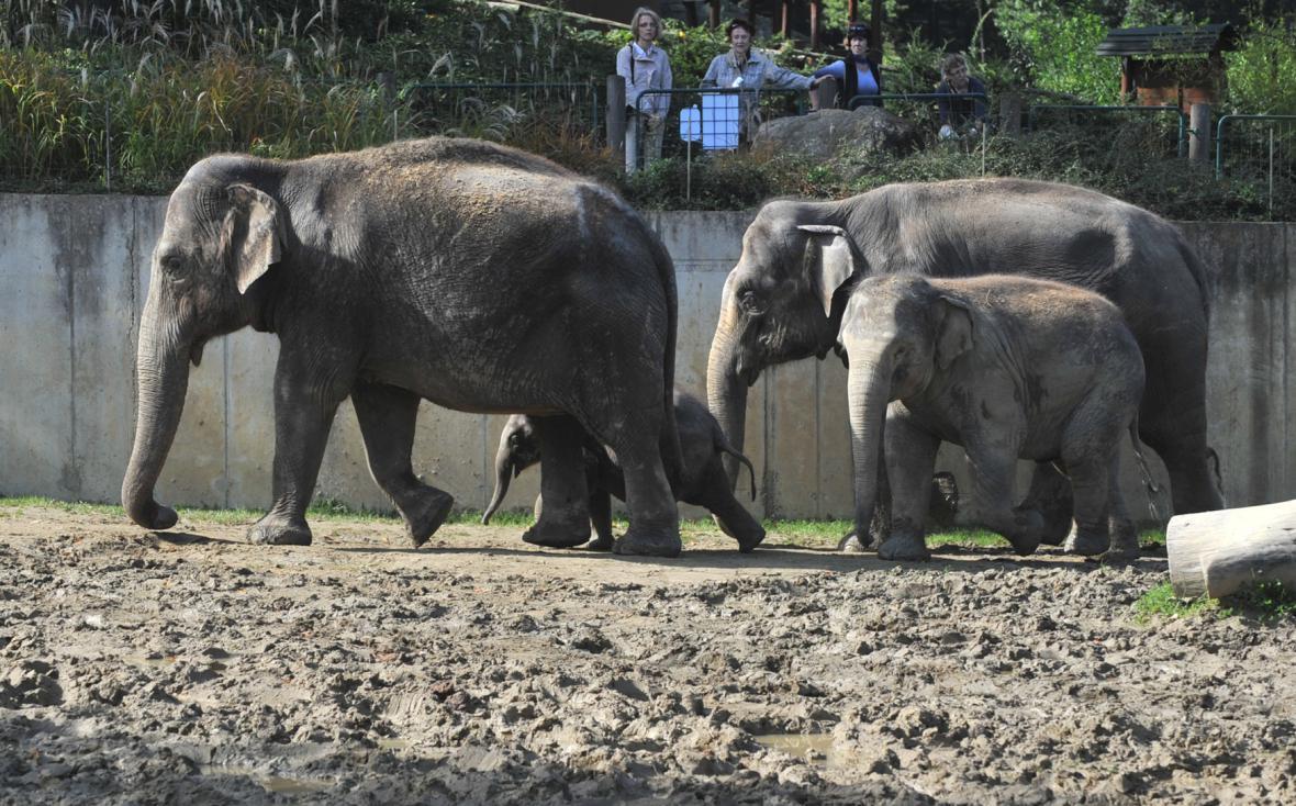 Část ostravského sloního stáda ve výběhu
