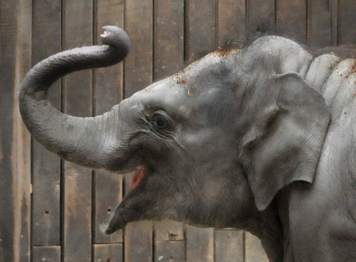Nejmladší ostravské sloní mládě