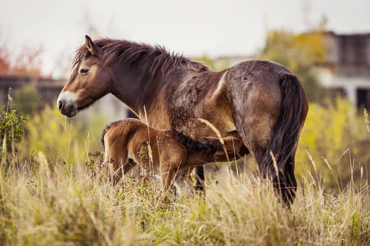 Hříbě divokého koně v Milovicích