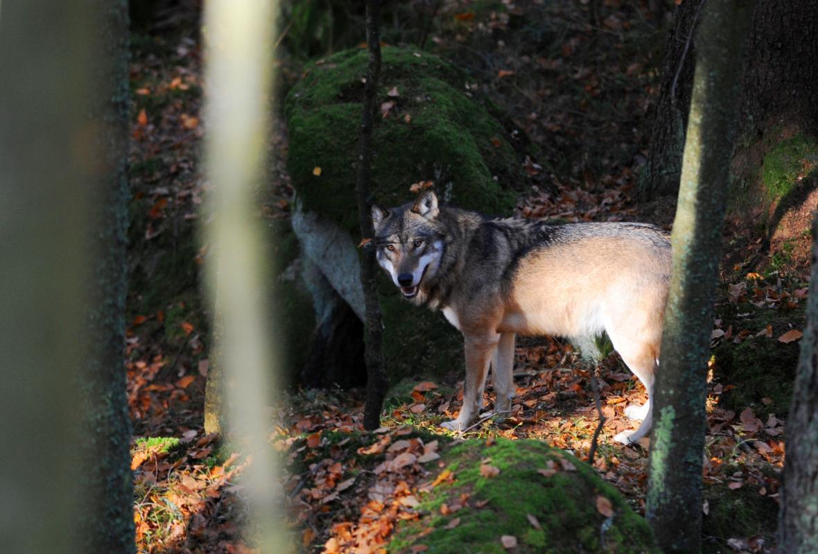 Vlci se vrátili na Šumavu