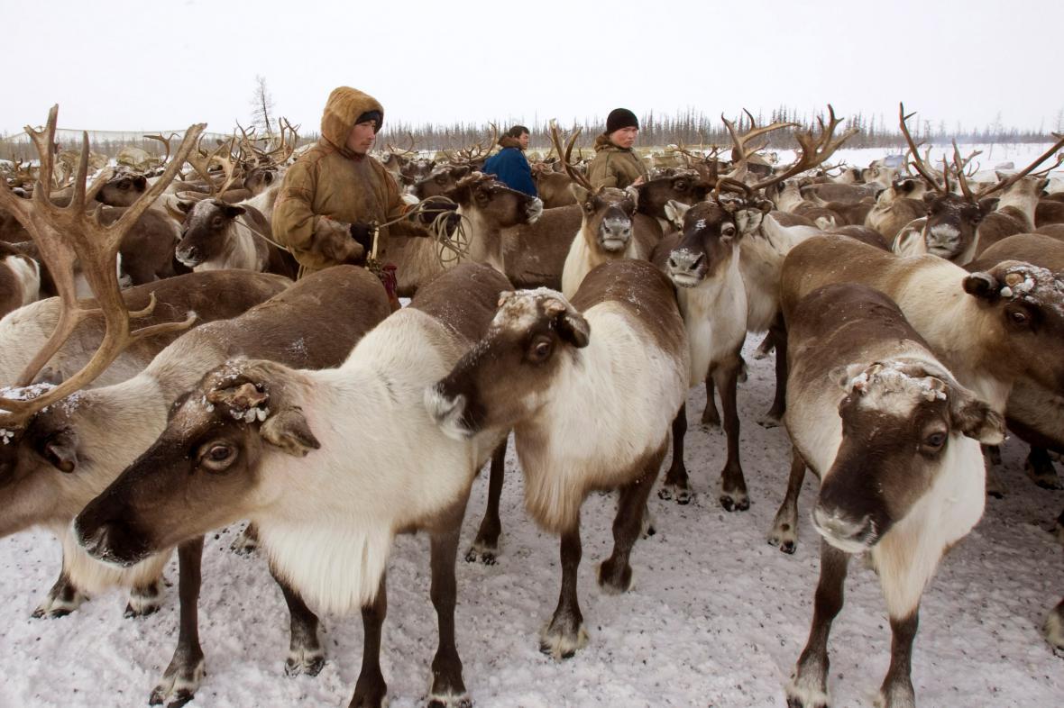 Globální oteplování s sebou přináší komplikace i pro arktickou populaci sobů