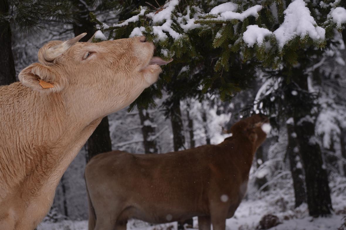Při chovu hospodářských zvířat unikají do atmosféry emise skleníkových plynů, většinově se na tom podílí chov skotu.