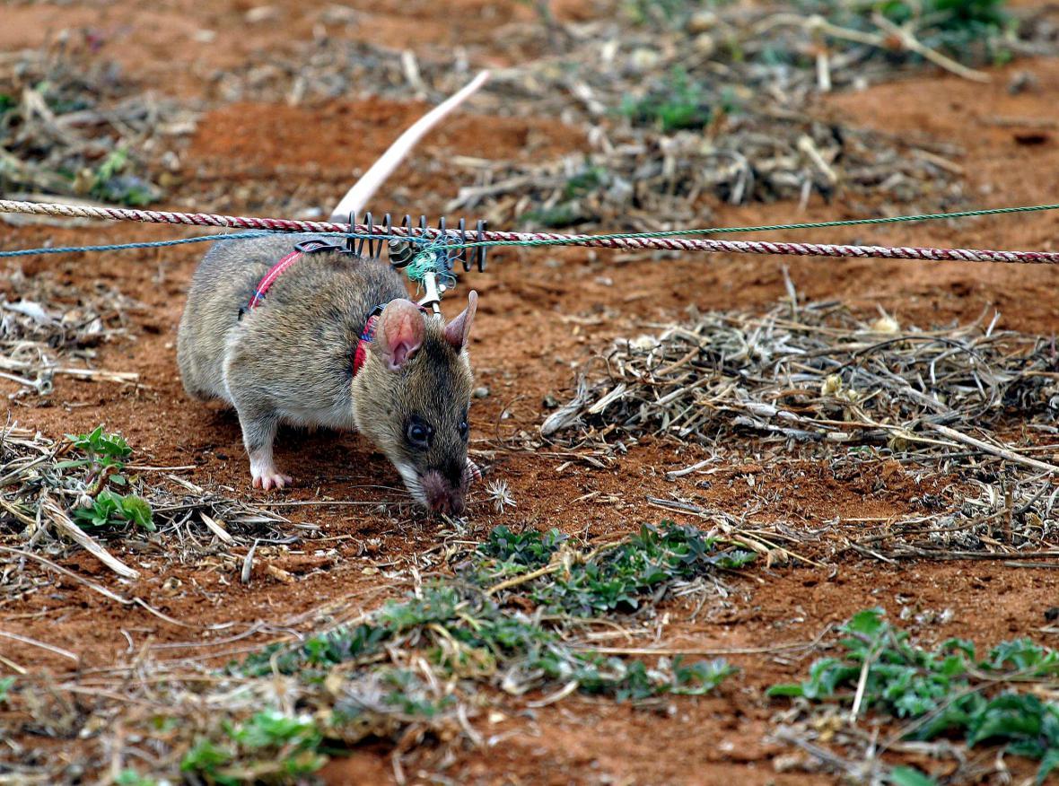 Krysa při vyhledávání nášlapných min