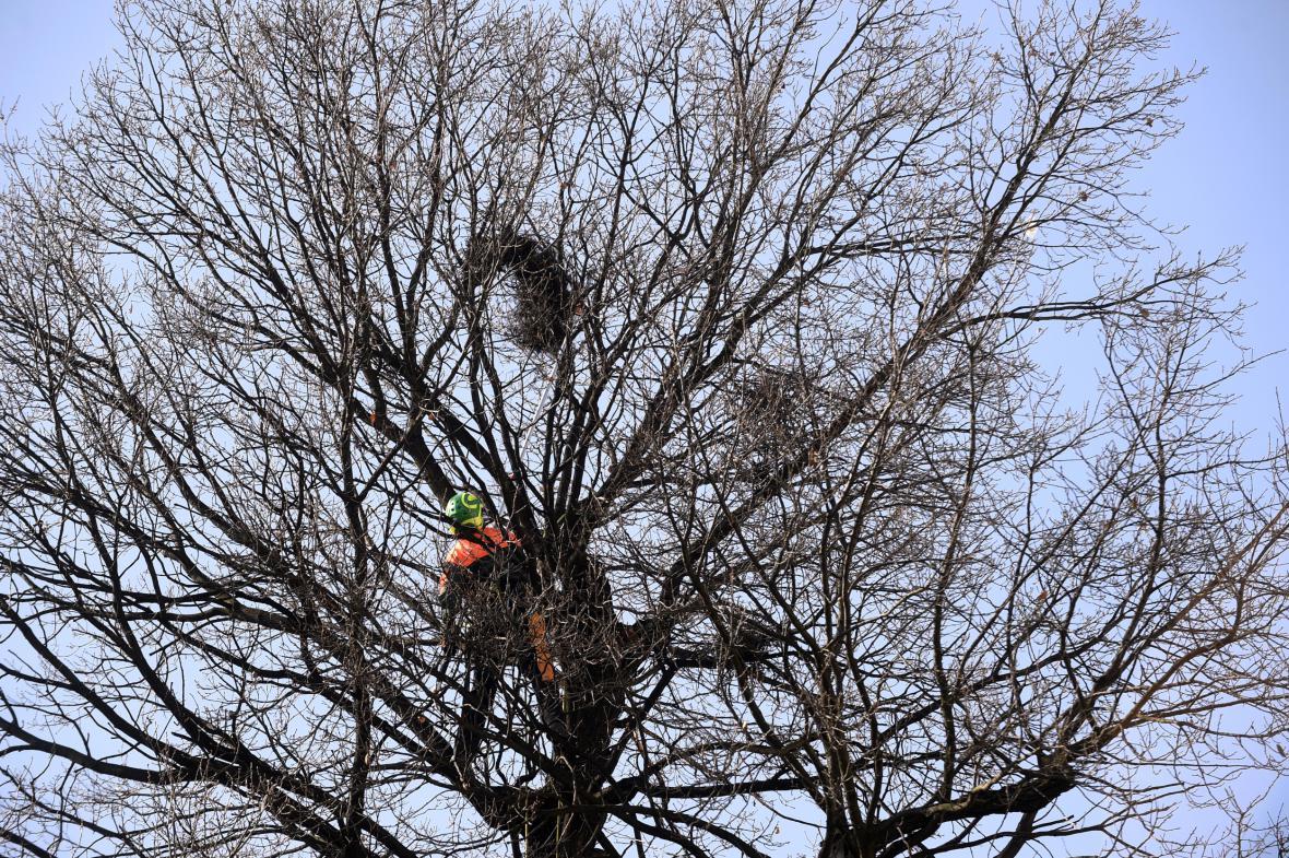 Chrudim likviduje hnízda havranů