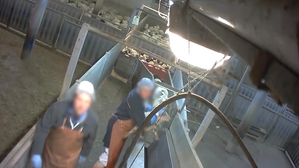 Zaměstnanci francouzských jatek brutálně zacházeli se zvířaty