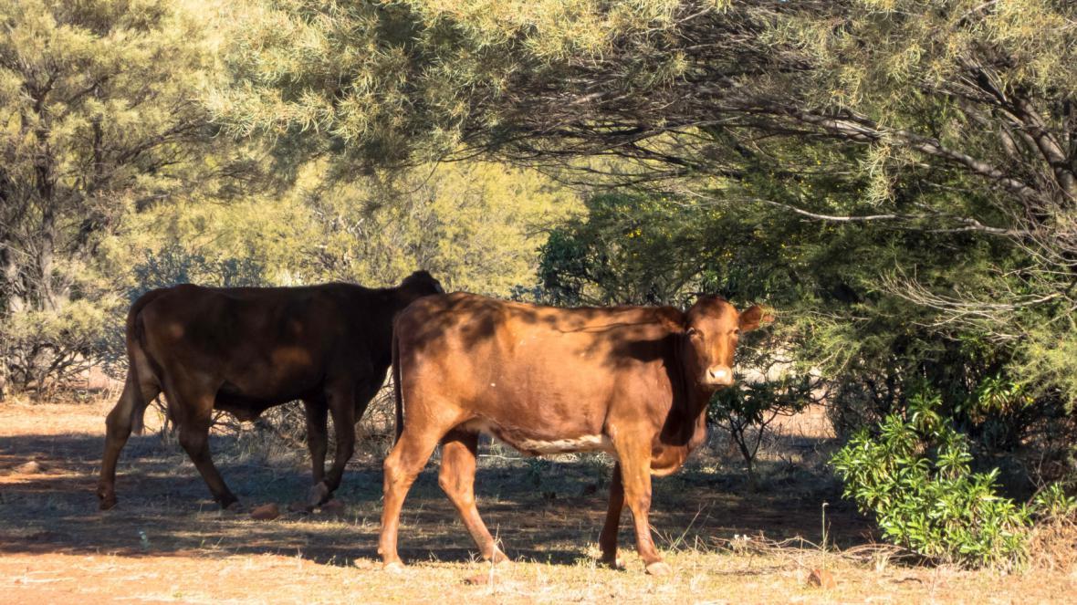 Australská pastvina