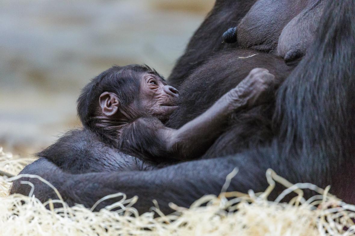 Gorilí samice Shinda se svým novorozencem