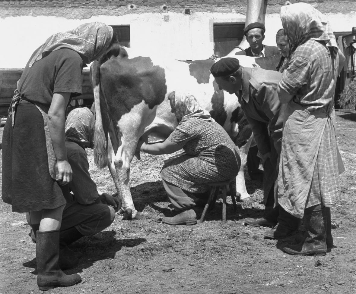 Zootechnik instruuje družstevnice v JZD Olešník o dojení krav masáží vemene