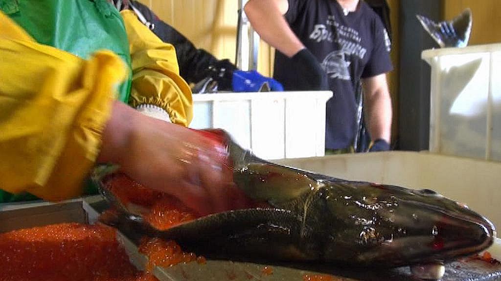 Dolování jiker z lososa