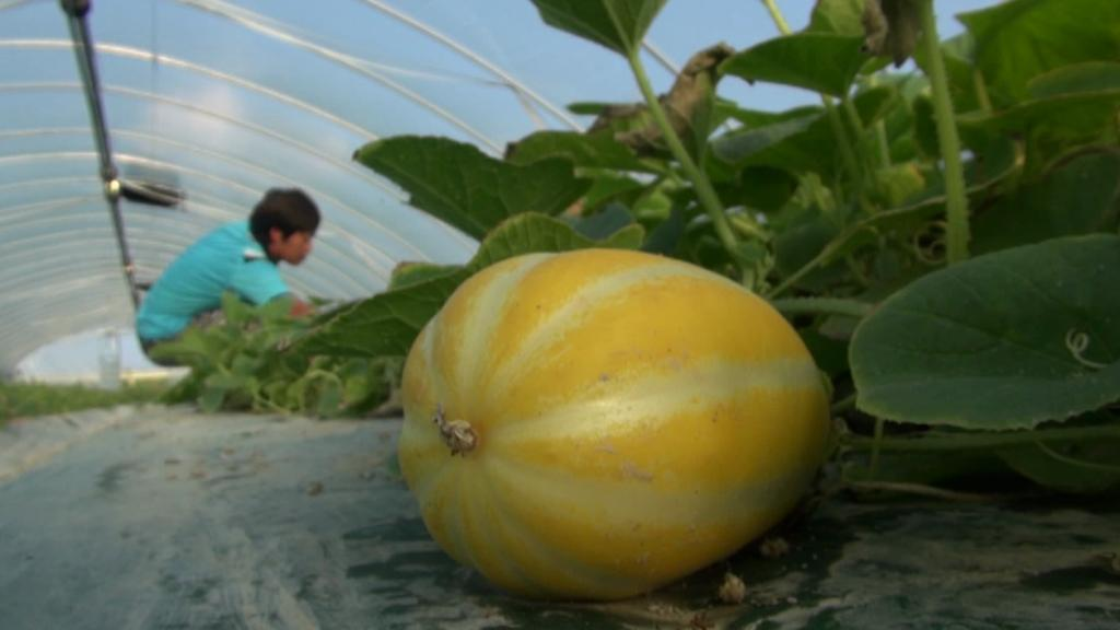 Produkce melounů v jihokorejském okrsku Songdžu