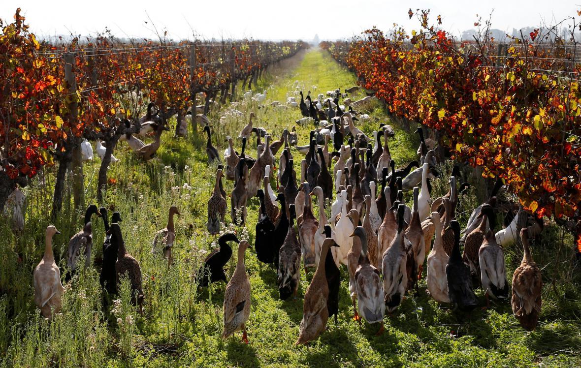 Kachny při práci na vinici