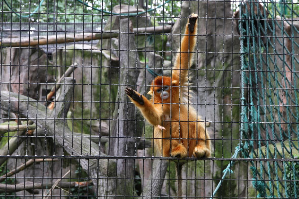 Langur čínský