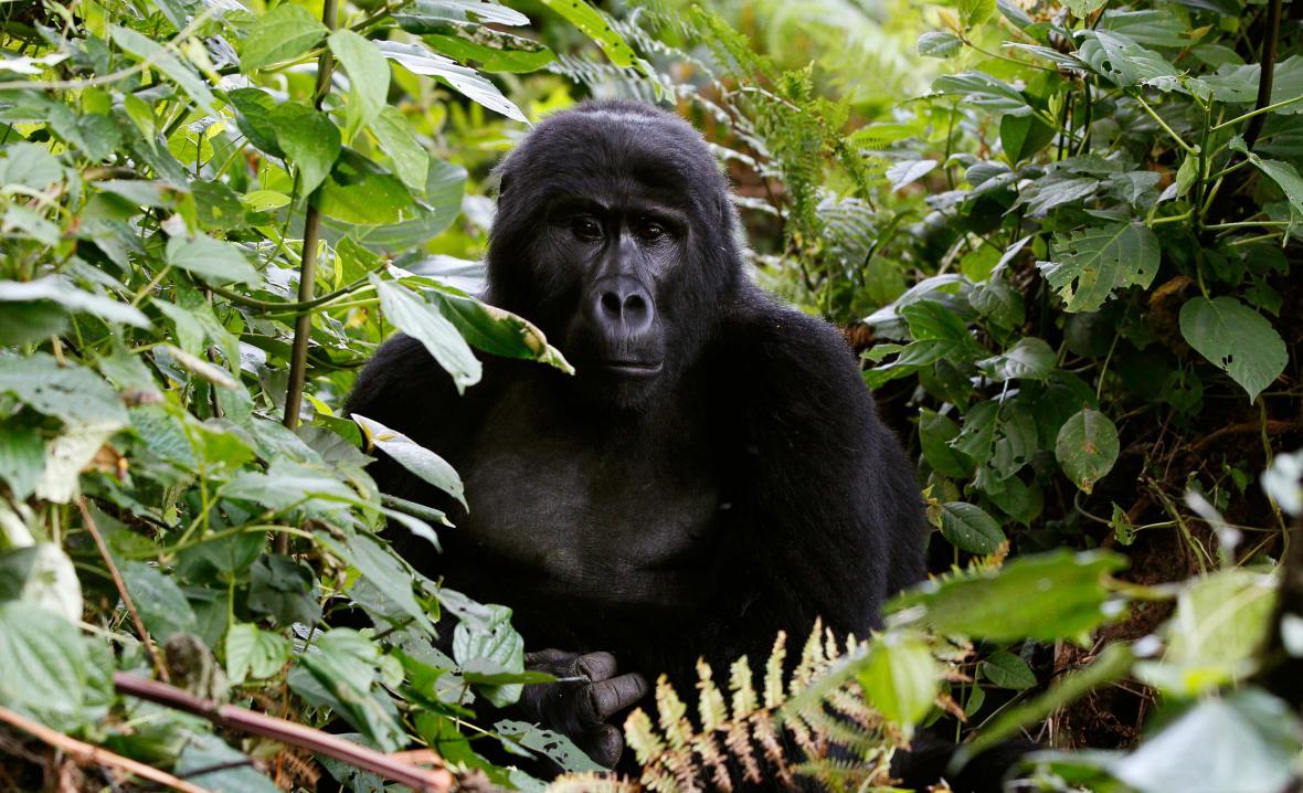 Ohrožená gorila východní