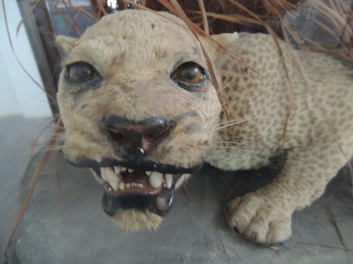 Levhart zanzibarský