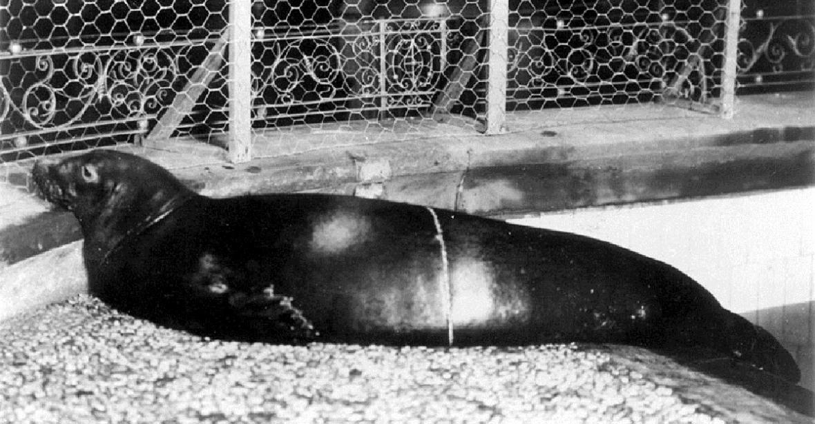 Tuleň karibský