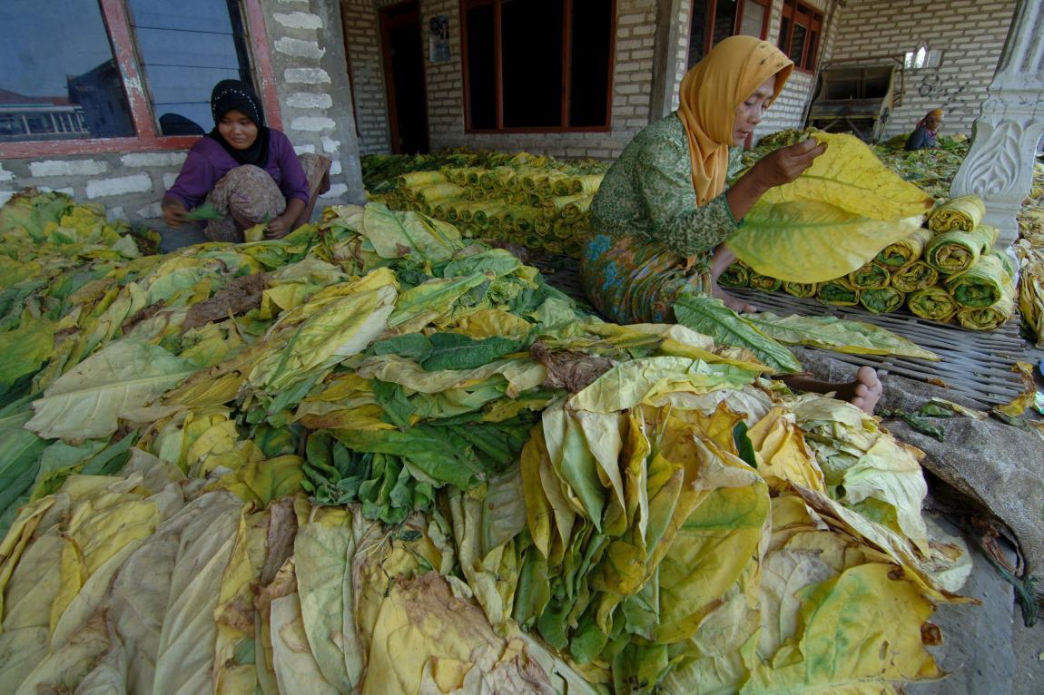 Zpracovávání tabáku v Indonésii