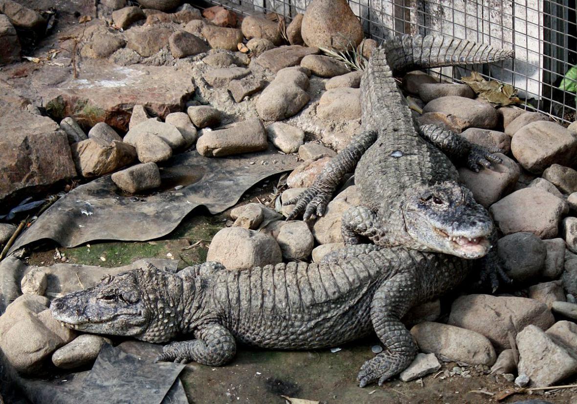 Aligátor čínský