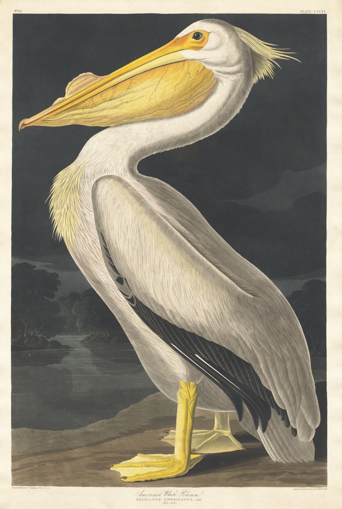 Robert Havell / Americký bílý pelikán