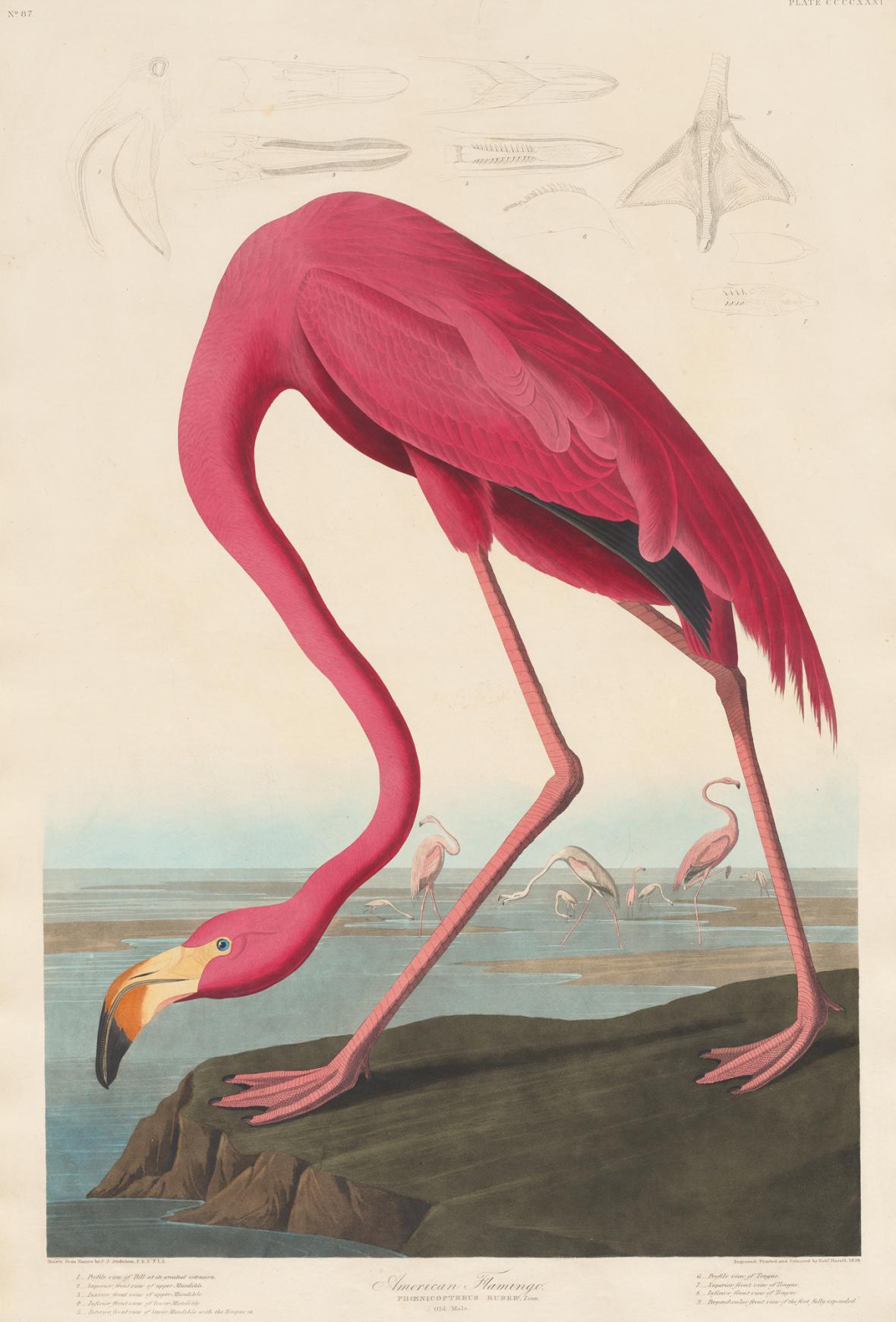Robert Havell podle Johna Jamese Audubona / Americký plameňák