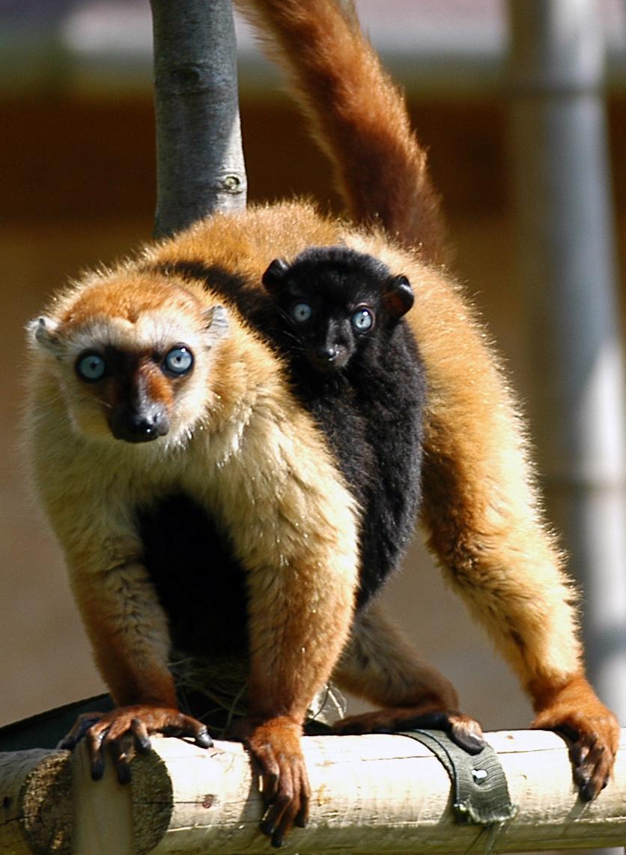 Lemur Sclaterův
