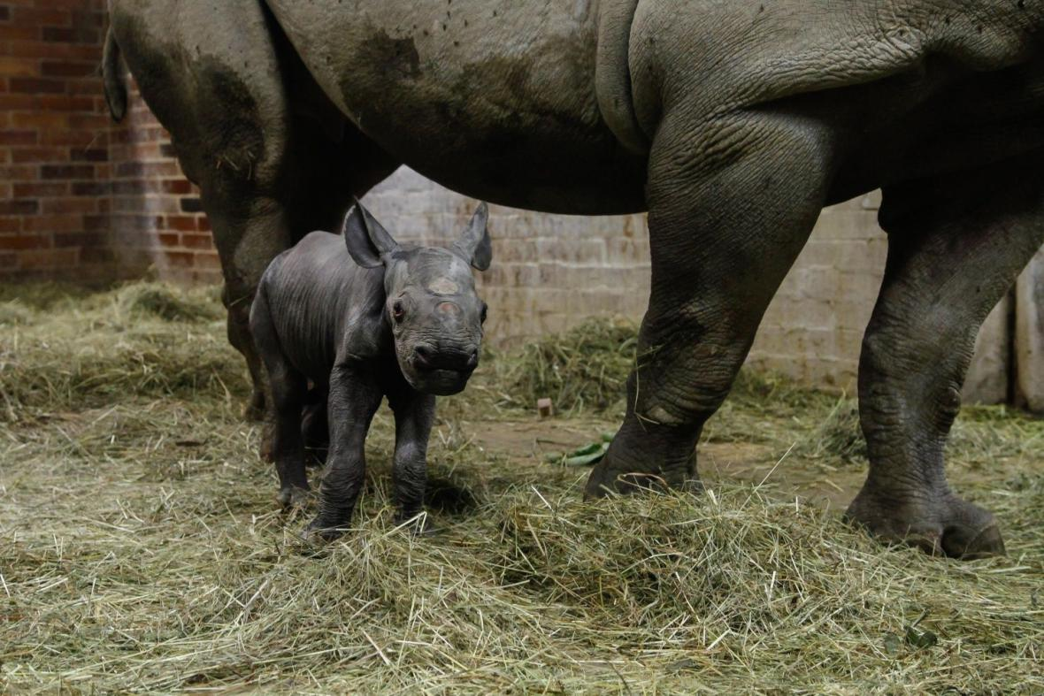 Nové nosorožčí mládě