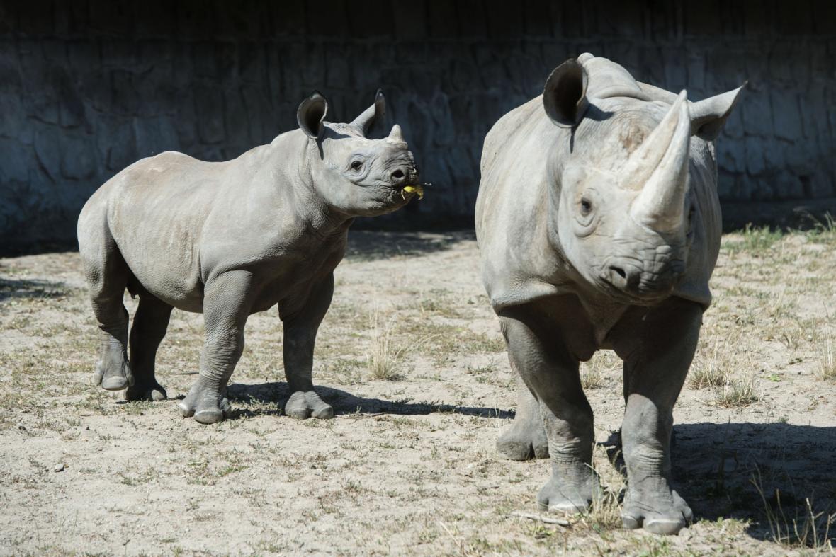 Nosorožci dvourozí