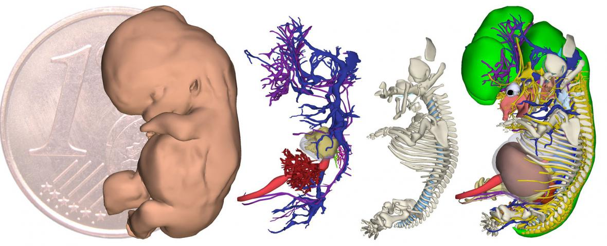 Ukázka z atlasu embrya