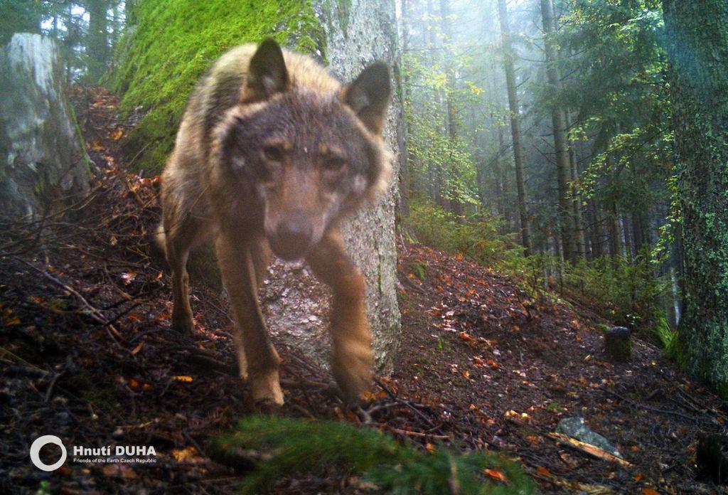 Vlk zachycený kamerou v jižním Pošumaví
