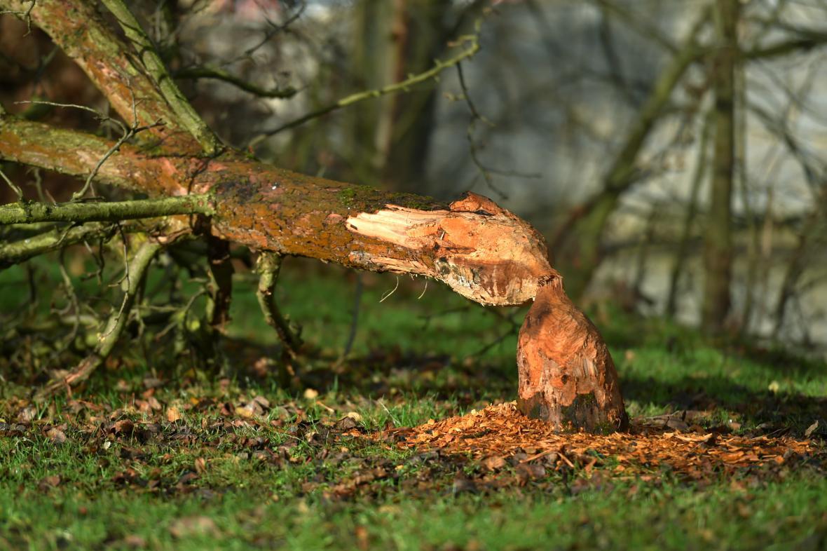 Bobři ničí stromy také v centru Chebu