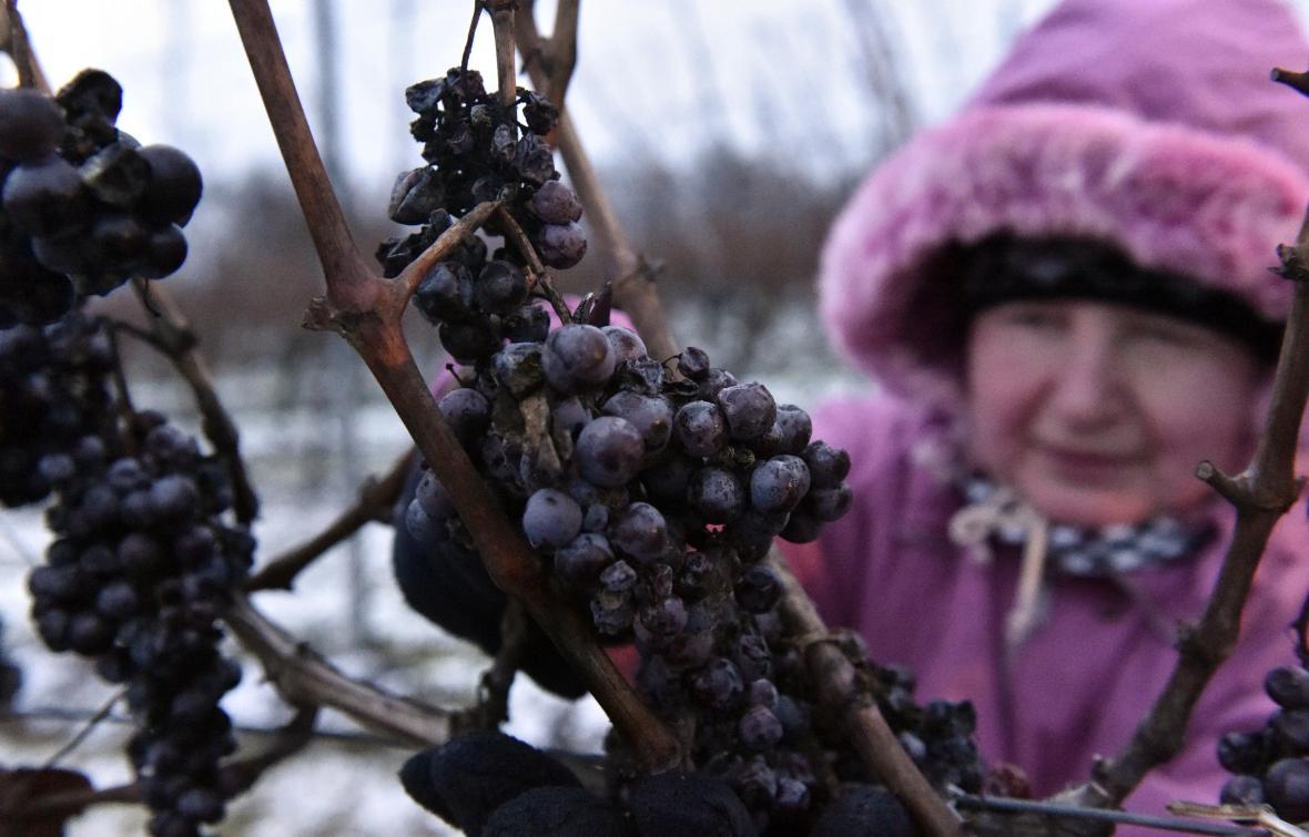 Pro sběr ledového vína musí být nejméně 7 stupňů pod nulou