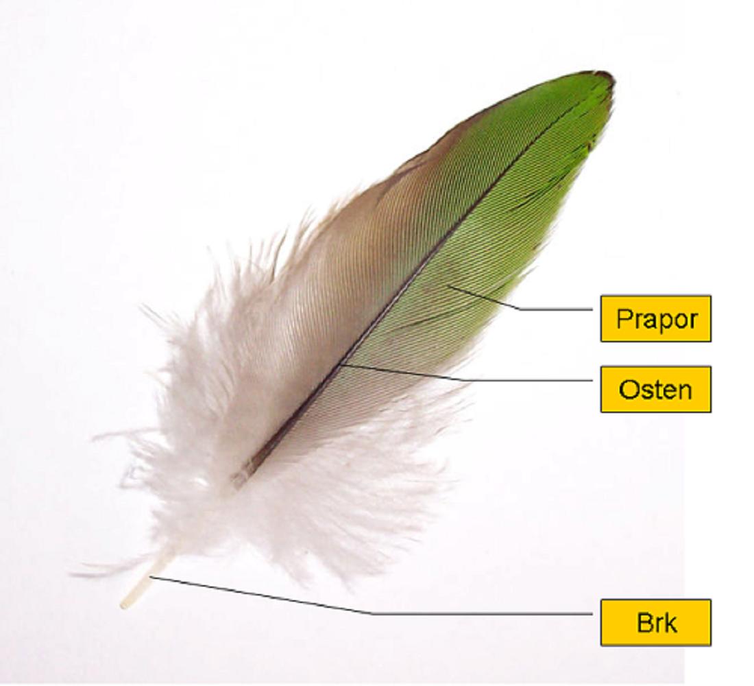 Ptačí pero