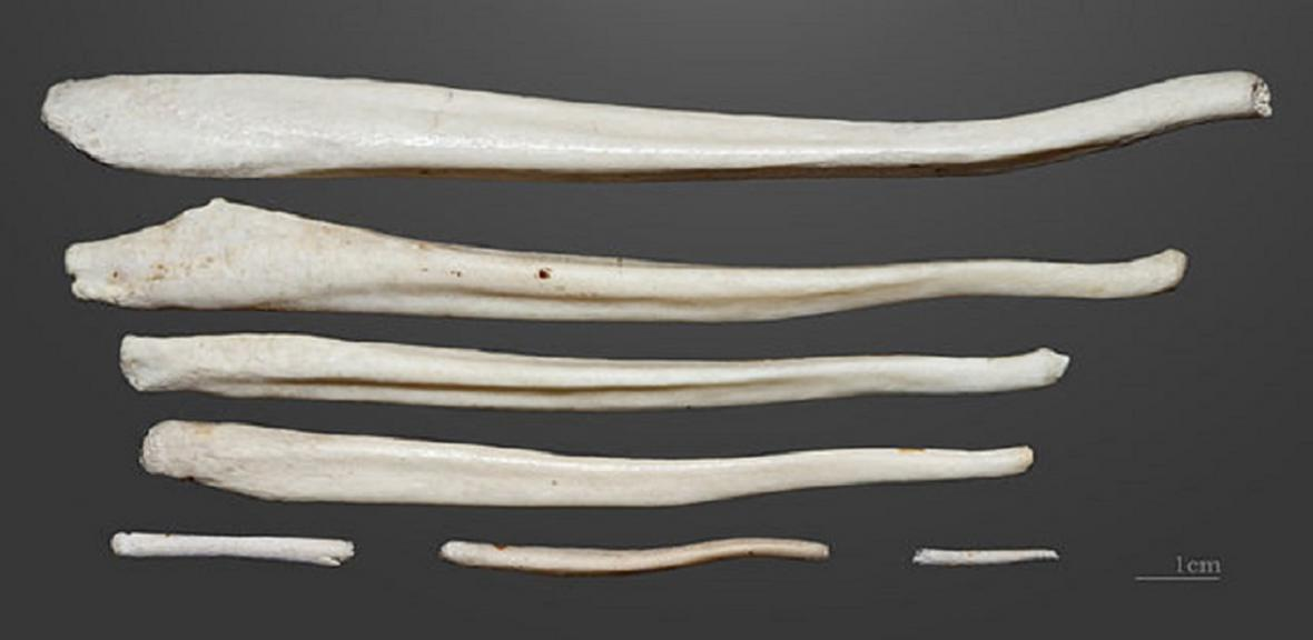Penilní kosti savců