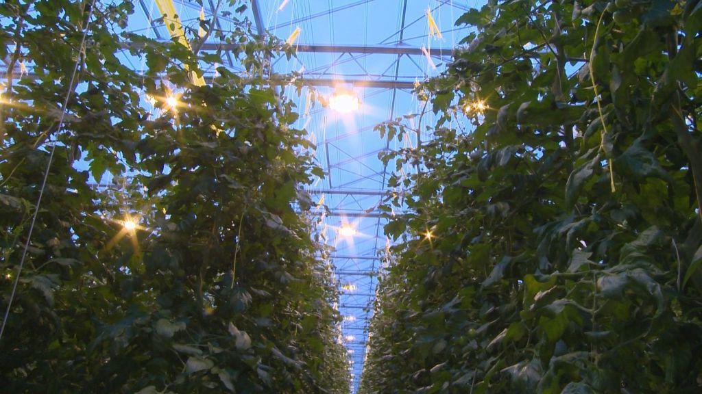 Pěstování rajčat ve skleníku v Haňovicích na Olomoucku