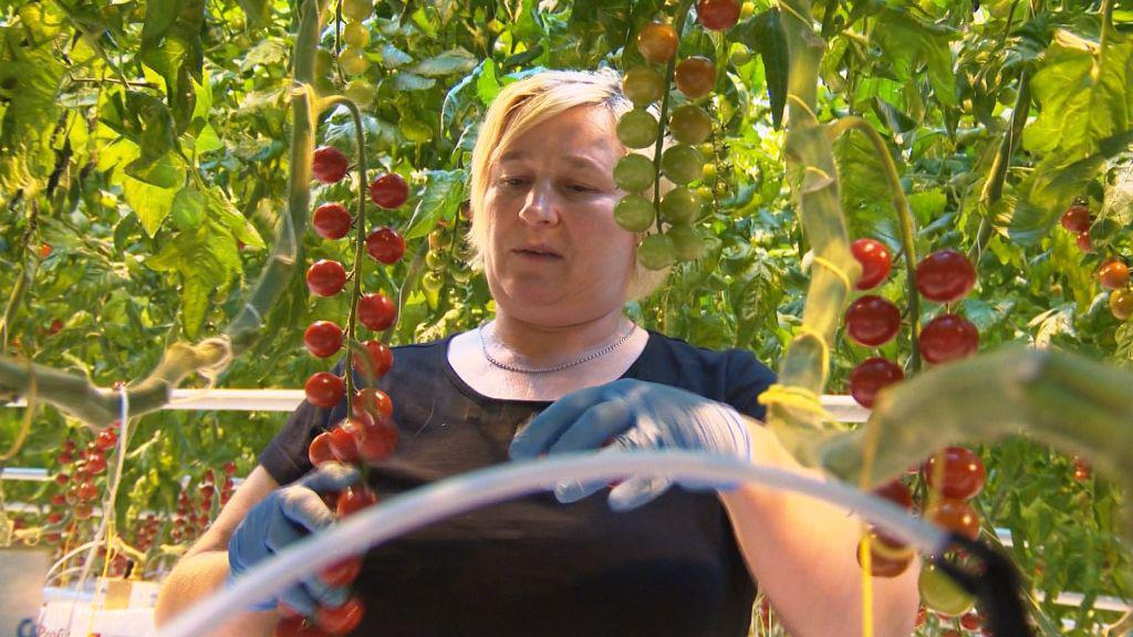 Lenka Linková sklízí keříčky červených rajčat
