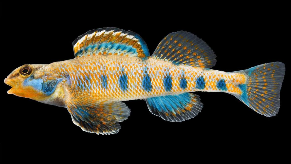 Candátek Etheostoma Obama