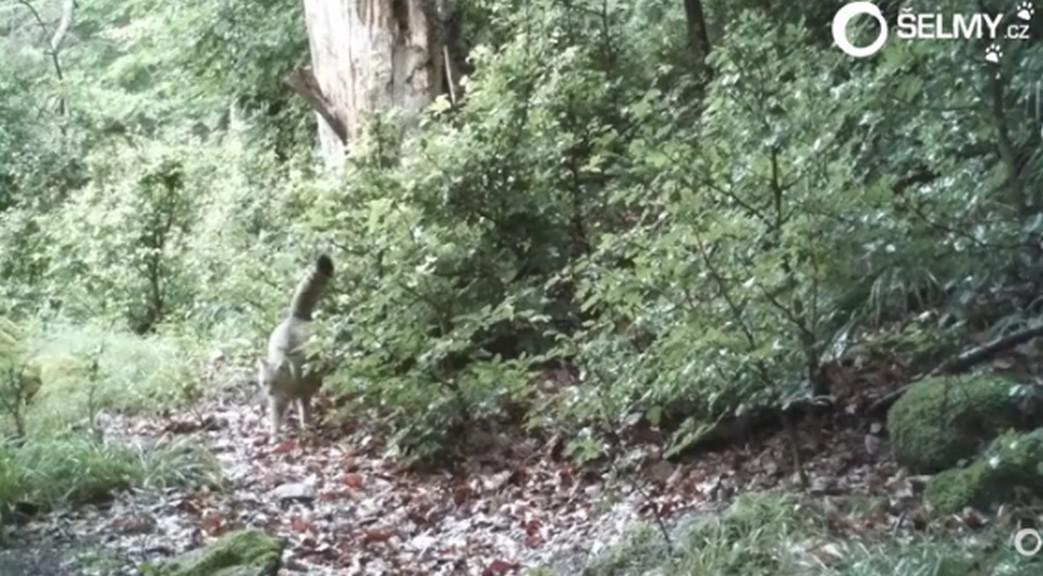 Kočka divoká v Pošumaví