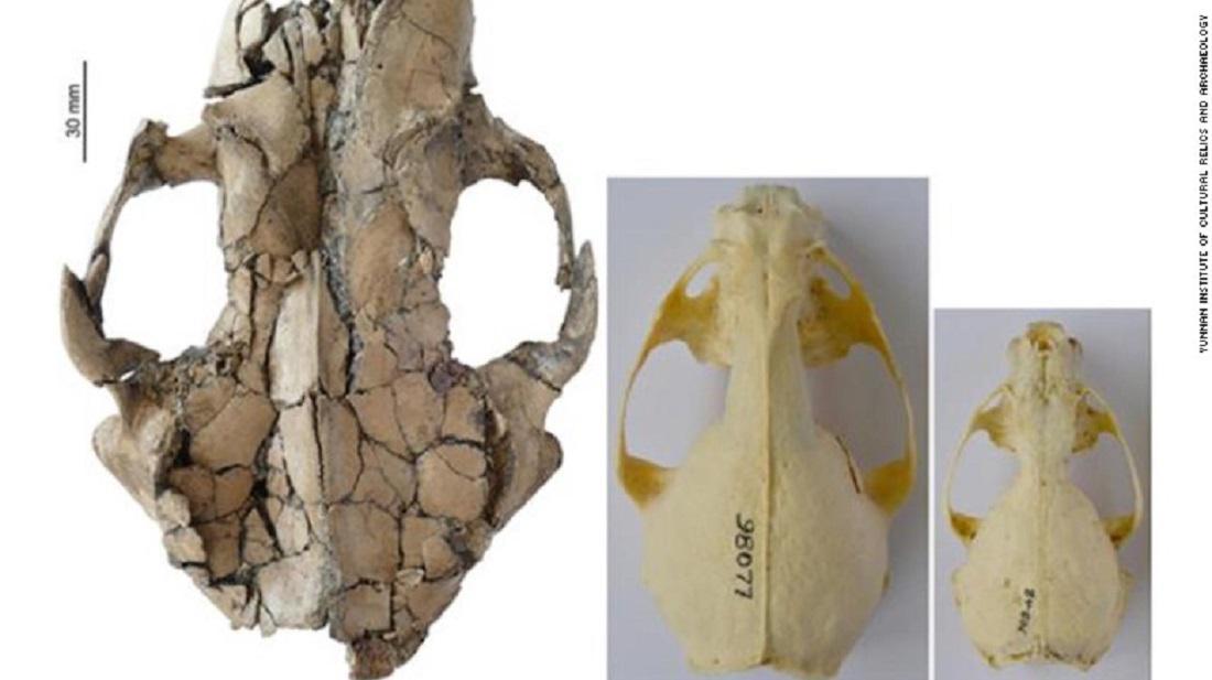 Srovnání lebky siamogale melilutra a dnešních yvder