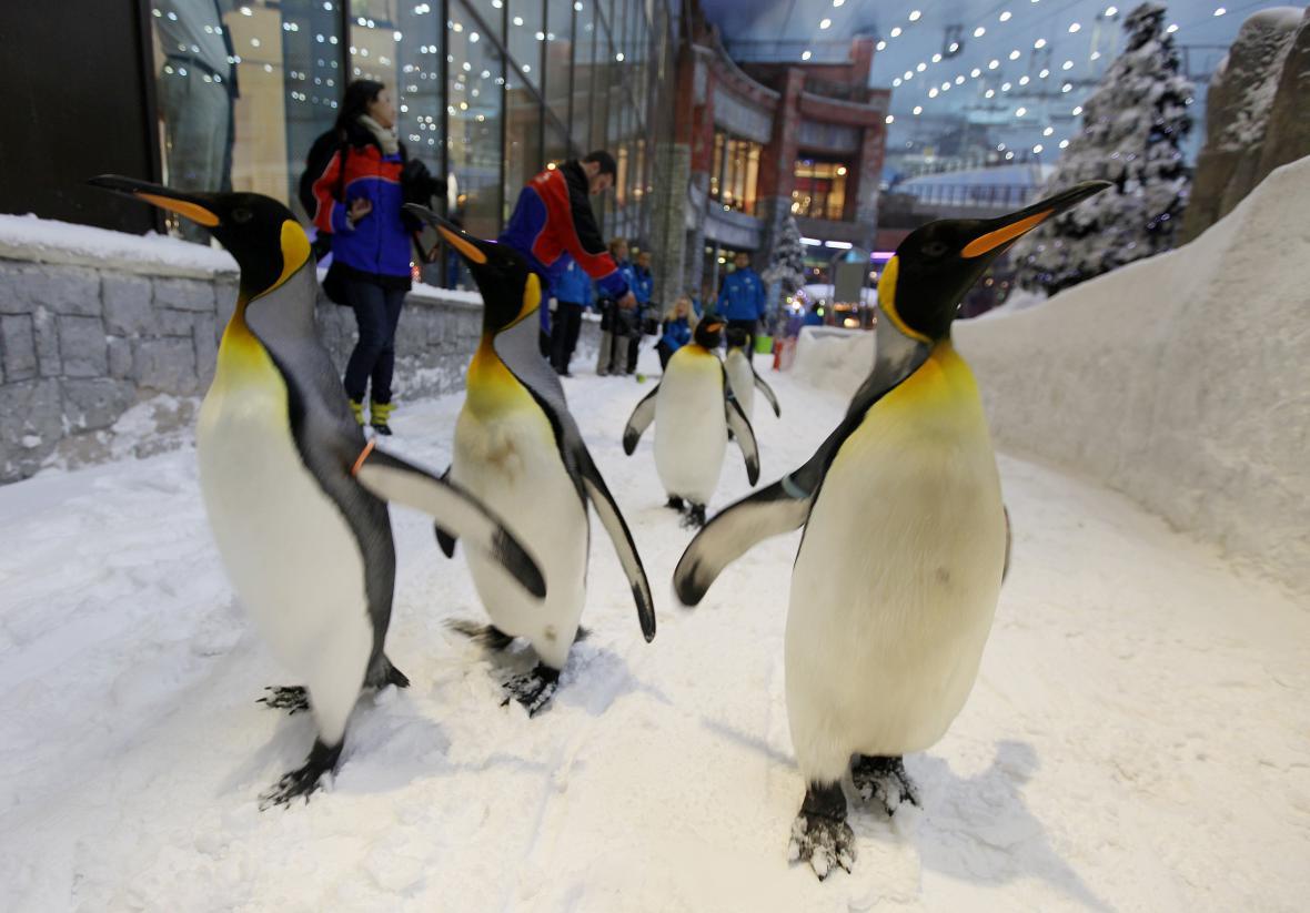 Tučňáci v obchodním centru v Dubaji