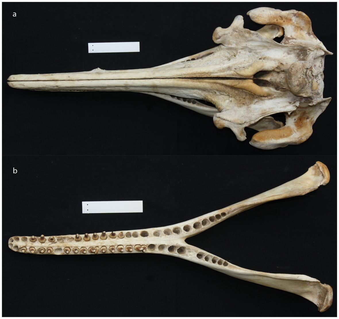 Lebka delfínovcc araguaiského