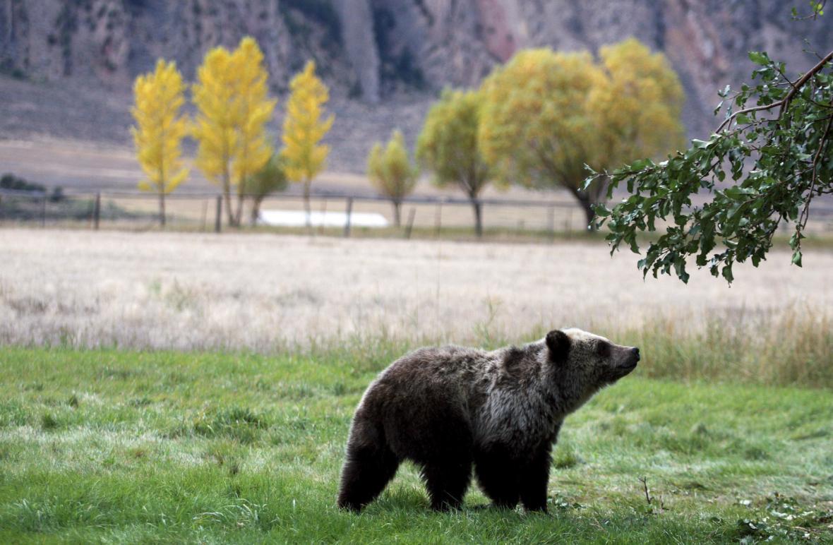 V Yellowstonu žijí i medvědi
