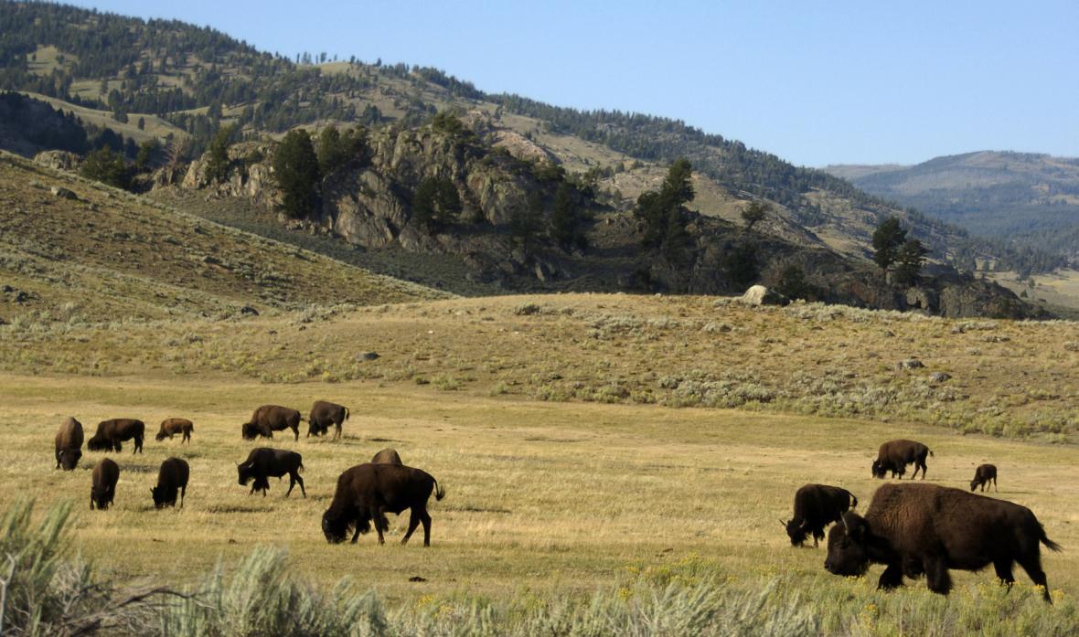 Po Yellowstonu se volně pohybují bizoni