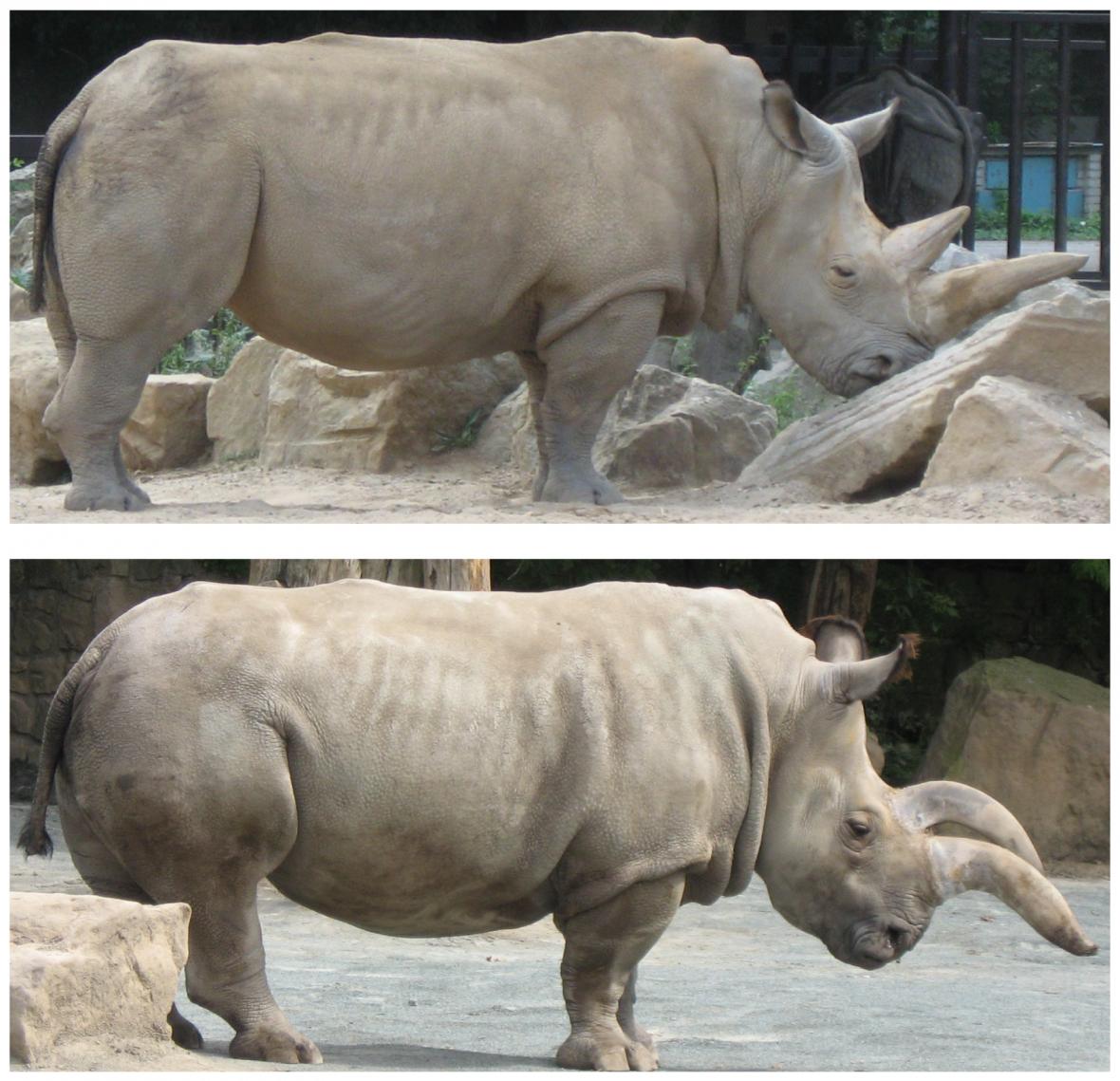 Samec a samice nosorožce severního bílého